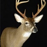 Whitetail Deer Taxidermy