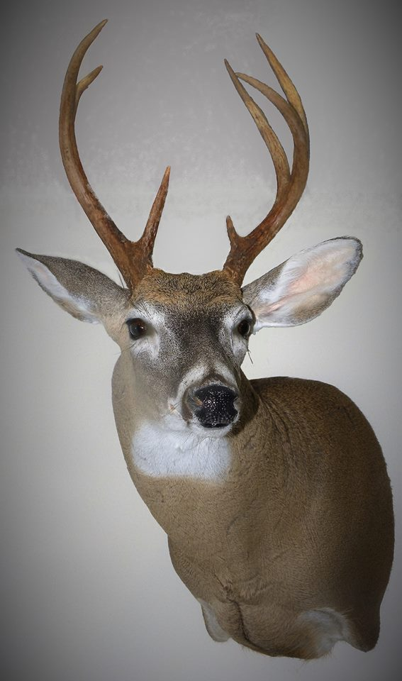 wholesale whitetail taxidermy
